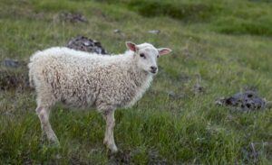 An Icelandic sheep standing on the grass in the mountains of Iceland