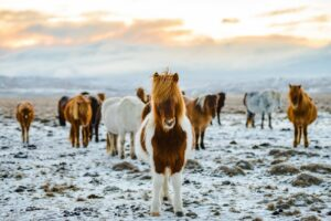 Icelandic Horse in the snow in amidst Iceland's rugged nature