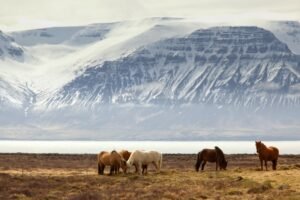 Icelandic horses grazing with a snow-covered mountain in the distance