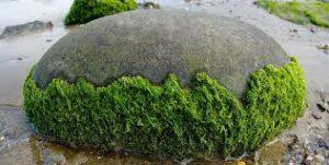 Algae in Iceland